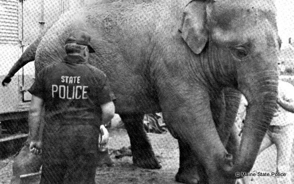 1981- Trooper Roy Gallant, Commercial Vehicle Division, weighing an elephant